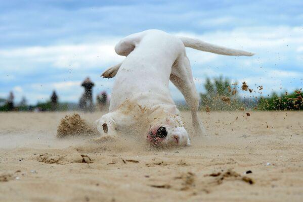 Dogo argentino durante l'addestramento - Sputnik Italia