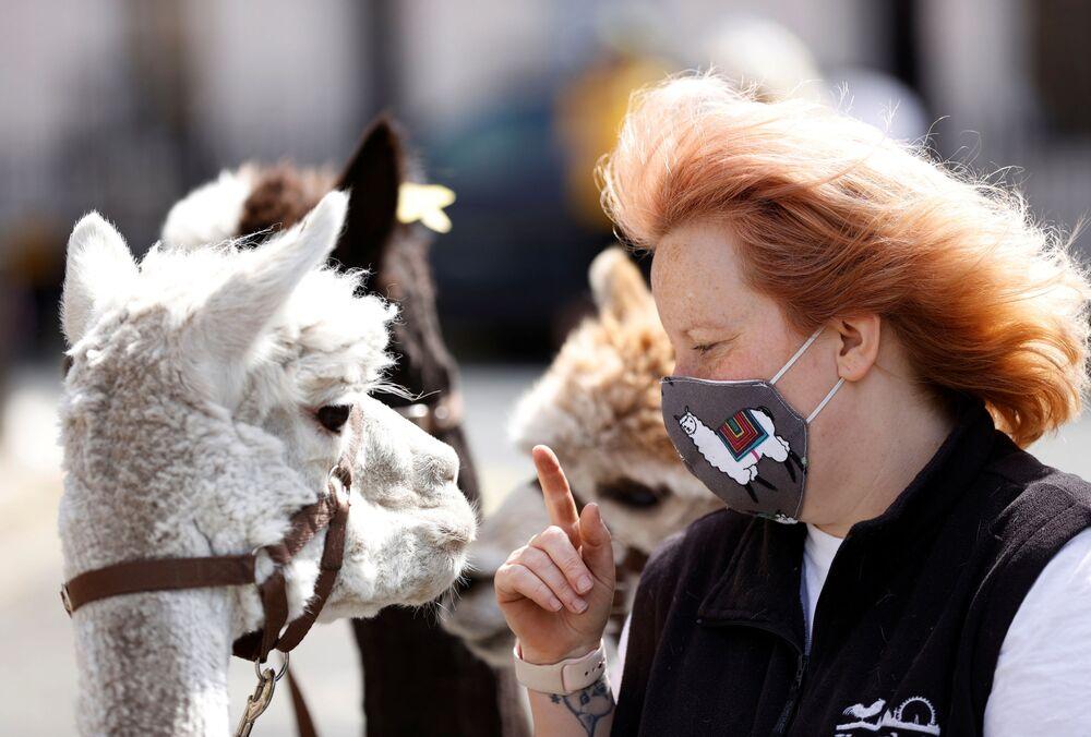 Una donna con un alpaca a Londra, il 23 maggio 2020