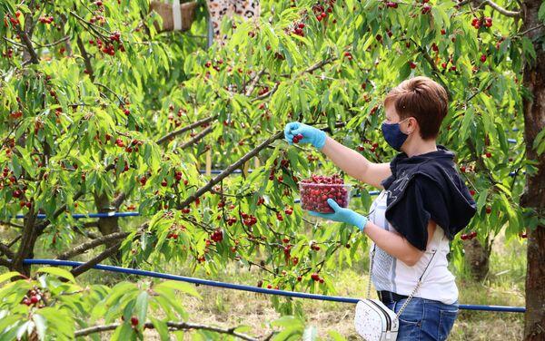 La raccolta delle ciliegie al frutteto Sant'Anna - Sputnik Italia