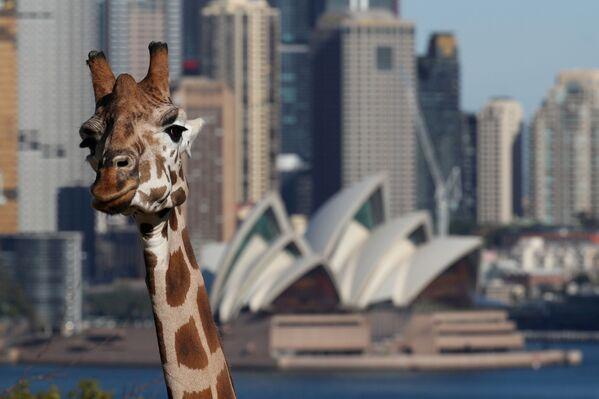 Una giraffa di fronte al Teatro dell'Opera di Sydney, Australia - Sputnik Italia