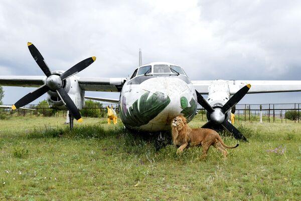 Leone sul territorio del parco safari di Taigan in Crimea, Russia - Sputnik Italia