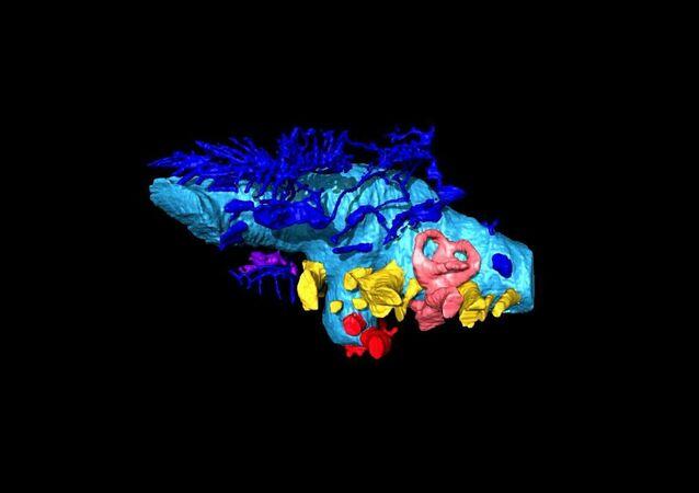 La ricostruzione virtuale 3D del cervello del dinosauro Bissektipelta archibaldi