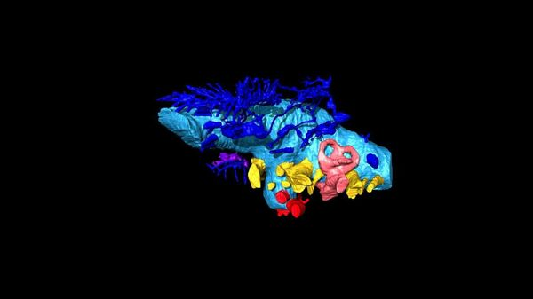 La ricostruzione virtuale 3D del cervello del dinosauro Bissektipelta archibaldi - Sputnik Italia