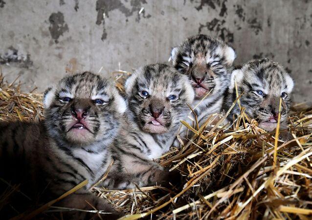 I cuccioli di tigre dell'Amur appena nati al safari park di Taigan, Crimea