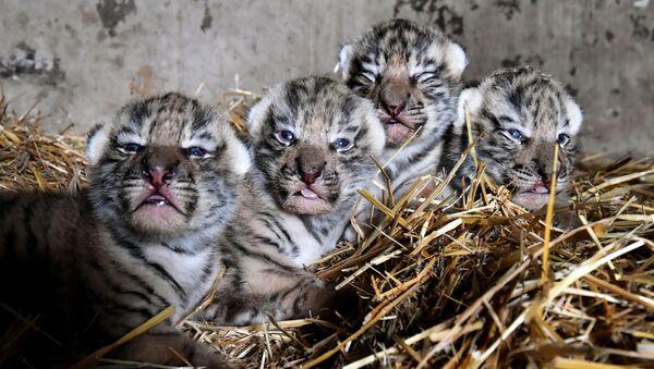 I cuccioli di tigre dell'Amur appena nati al safari park di Taigan, Crimea - Sputnik Italia