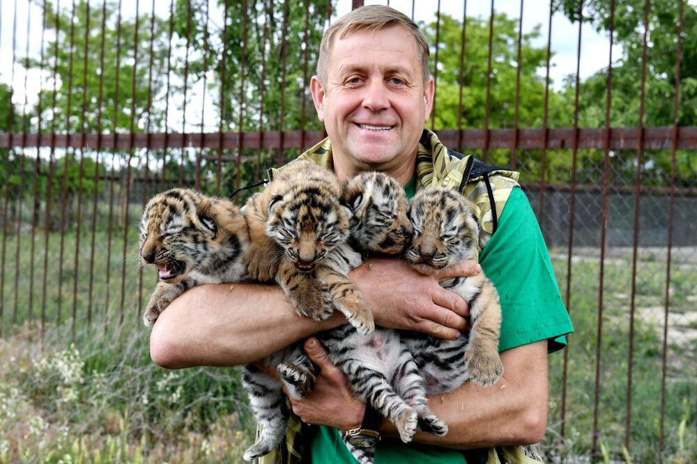 Il direttore del safari park di Taigan Oleg Zubkov con i cuccioli di tigre dell'Amur appena nati
