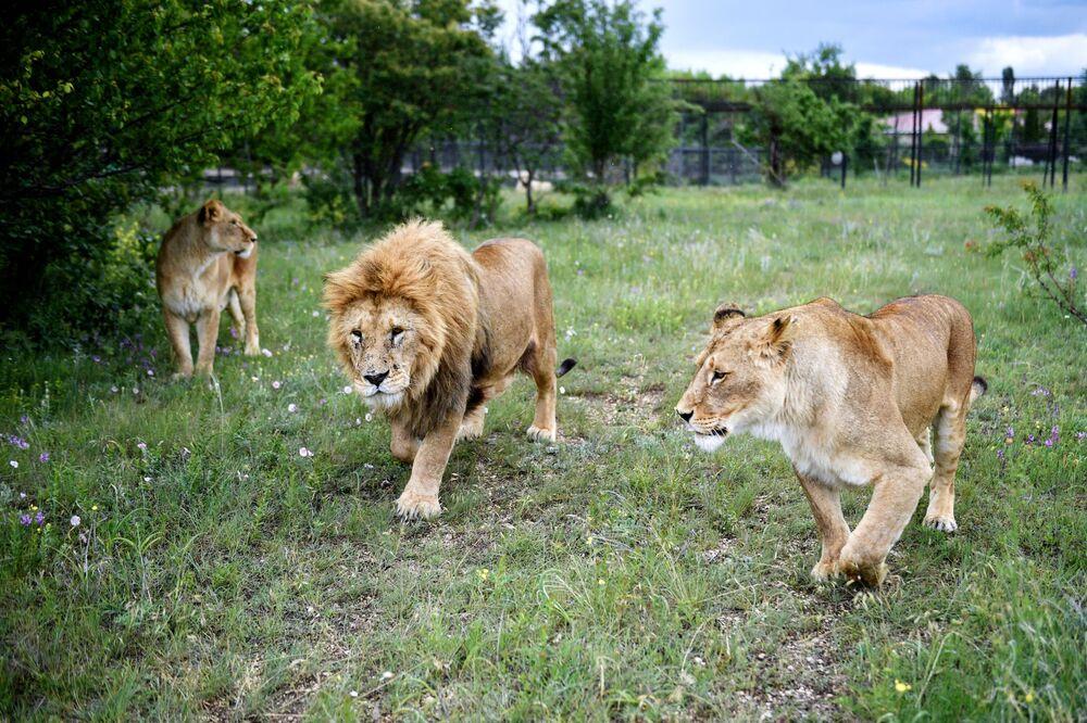Un leone con leonesse sul territorio del parco safari di Taigan in Crimea