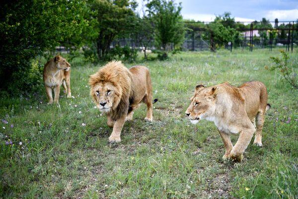 Un leone con leonesse sul territorio del parco safari di Taigan in Crimea - Sputnik Italia
