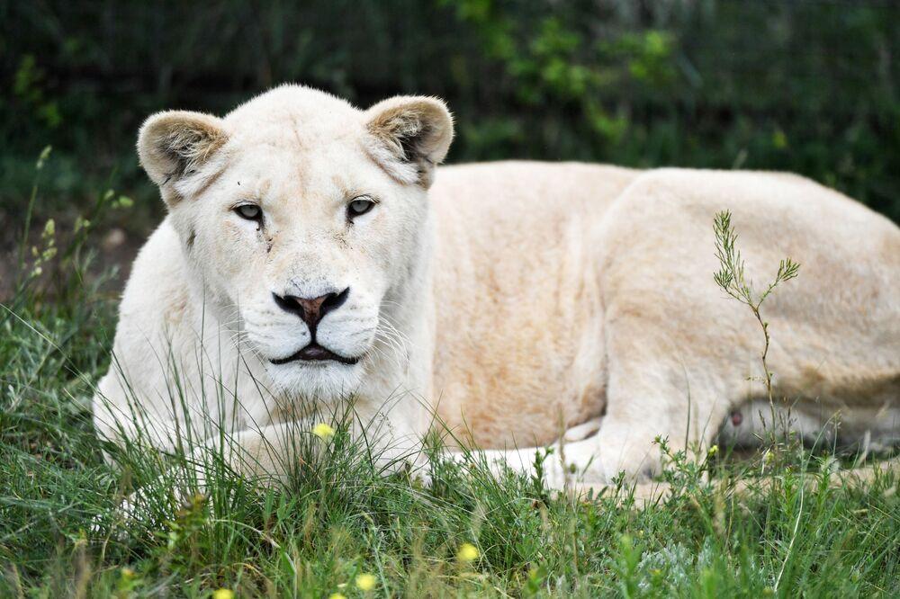 Leonessa africana bianca nel parco safari di Taigan in Crimea