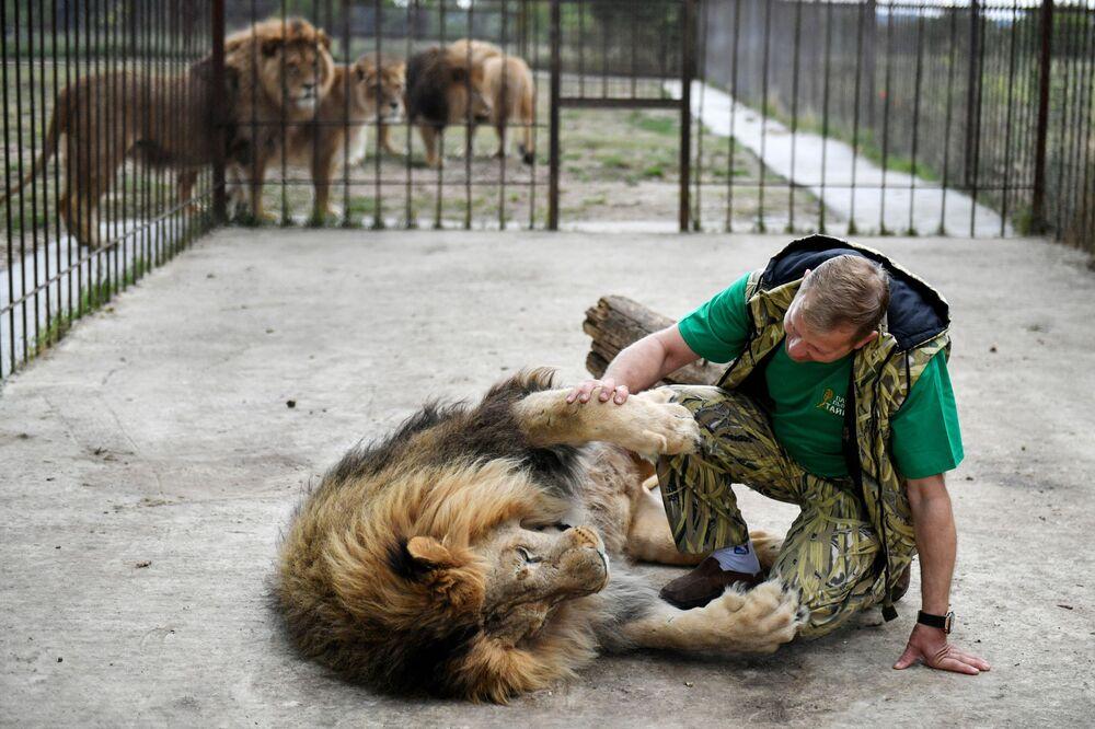 Il direttore del safari park di Taigan Oleg Zubkov con un leone.