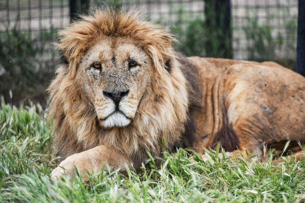 Un leone sul territorio del parco safari di Taigan in Crimea
