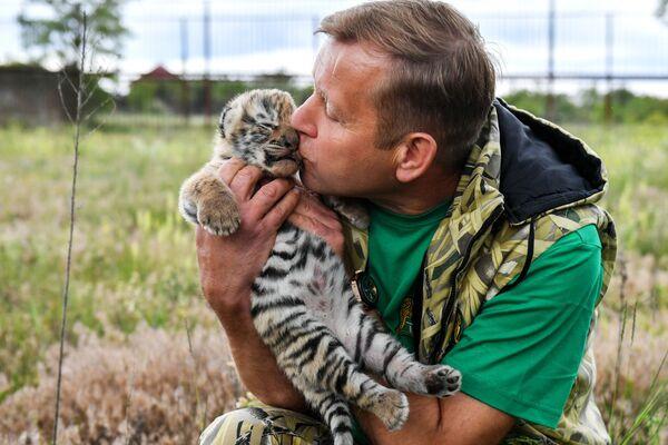 Il direttore del safari park di Taigan Oleg Zubkov con un cucciolo di tigre dell'Amur appena nato - Sputnik Italia