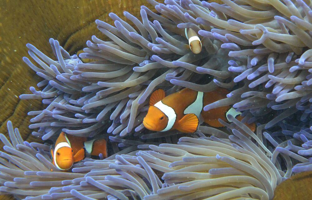 Dei pesciolini visti tra i coralli della Grande barriera corallina in Australia.