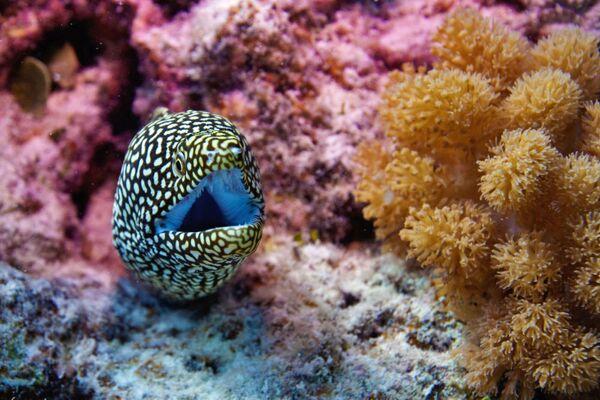 Una muraena nelle acque dell'Oceano Indiano. - Sputnik Italia