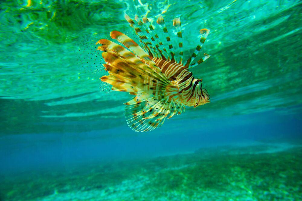 Un pesce scorpione.