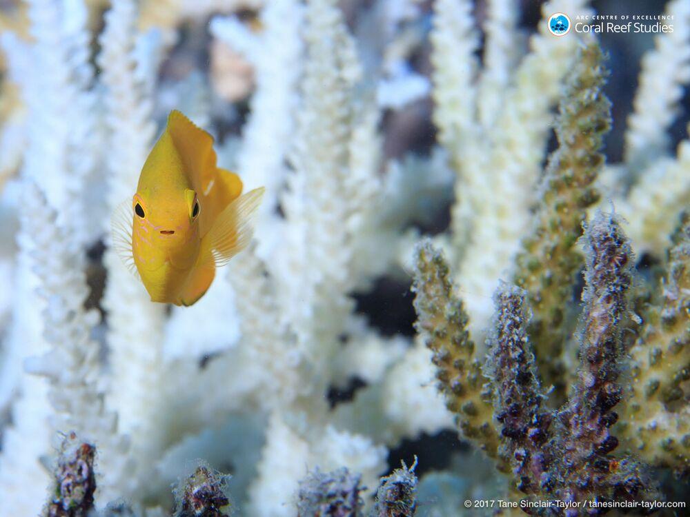 Un pesciolino nuota tra i coralli della Grande barriera corallina in Australia.