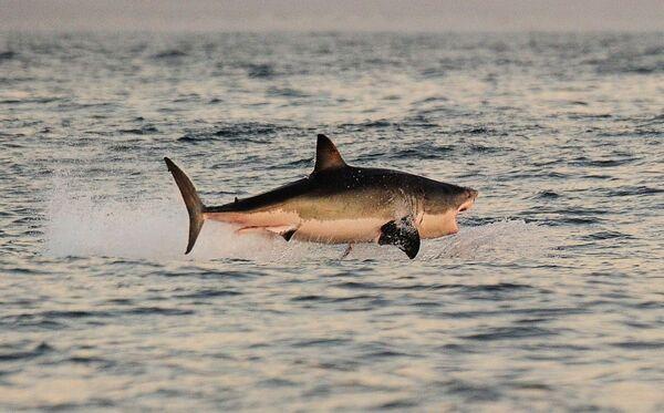 Un grande squalo bianco in caccia salta dall'acqua nei pressi della Falsa Baia, Sudafrica. - Sputnik Italia