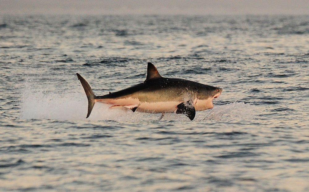 Un grande squalo bianco in caccia salta dall'acqua nei pressi della Falsa Baia, Sudafrica.