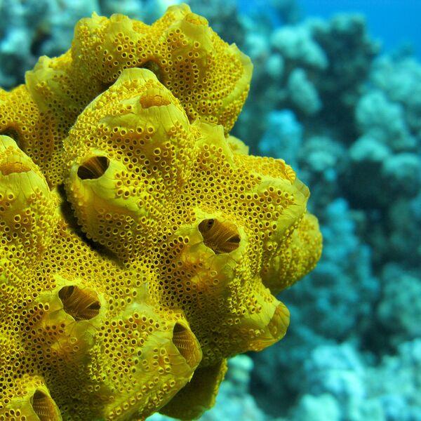Una spugna gialla sott'acqua. - Sputnik Italia