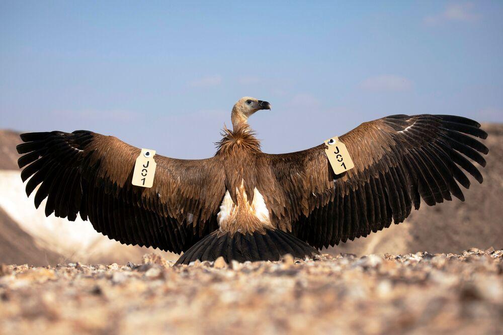 Un grifone dispiega le ali con gli indicatori, che seguono la sua posizione, preparandosi al volo.