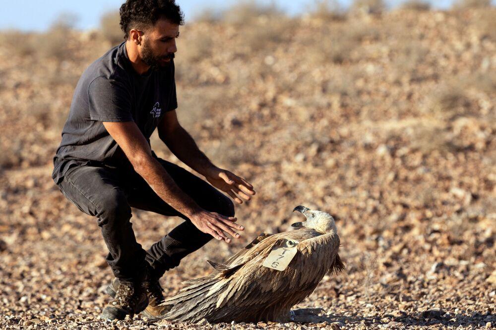 Uno specialista lascia in natura un grifone nell'ambito del progetto nazionale di tutela e aumento della popolazione dell'uccello in Israele