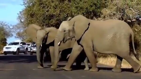 Mamma elefante - Sputnik Italia