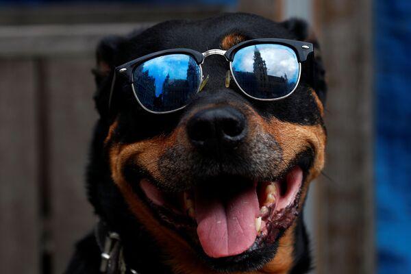 Un cane con gli occhiali da sole a Bruxelles dopo la riapertura di bar e ristoranti - Sputnik Italia
