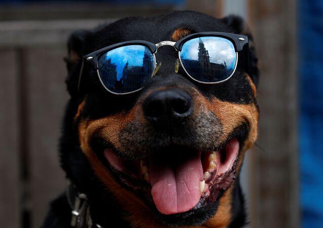 Un cane con gli occhiali da sole a Bruxelles dopo la riapertura di bar e ristoranti