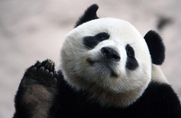 Un panda gigante nello zoo di Mosca si prepara ai visitatori in vista della revoca delle misure restrittive nella capitale russa  - Sputnik Italia