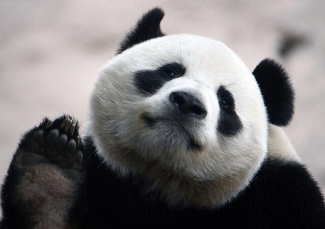 Un panda gigante nello zoo di Mosca si prepara ai visitatori in vista della revoca delle misure restrittive nella capitale russa