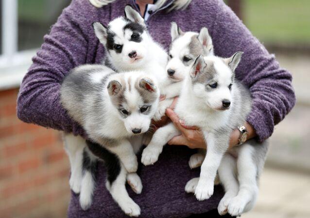 I cuccioli di husky siberiano nella città inglese di Tonbridge