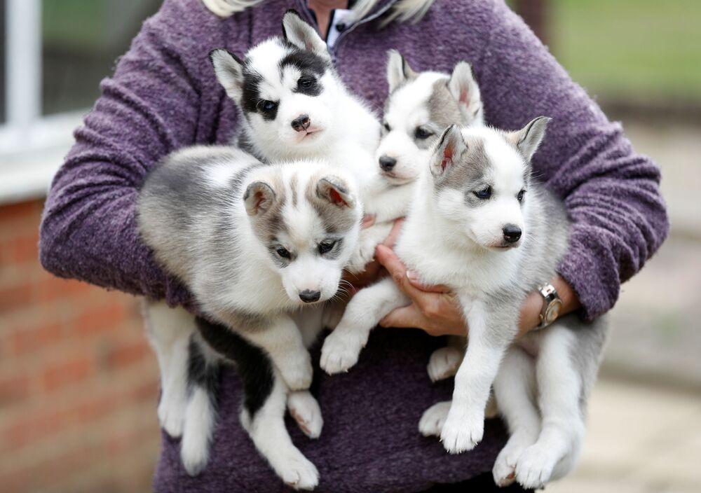 I cuccioli di husky siberiano nella città inglese di Tonbridge, Inghilterra