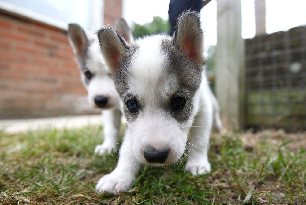 Gli husky siberiani di cinque settimane a casa dei loro allevatori, Stephen e Christine Biddlecombe, a Tonbridge, Inghilterra