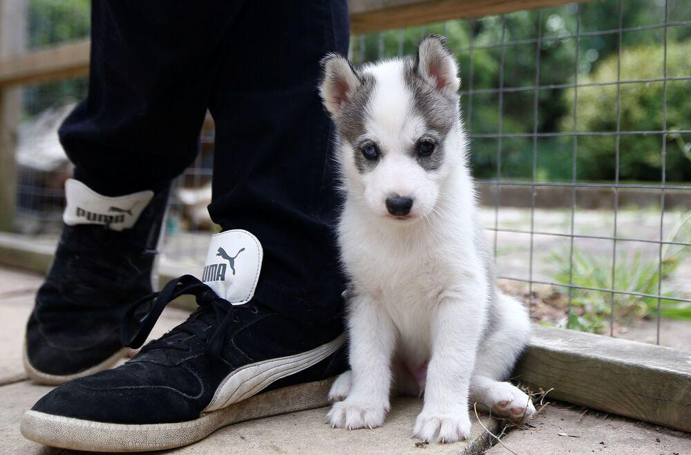 Un cucciolo di husky siberiano nella città inglese di Tonbridge, Inghilterra
