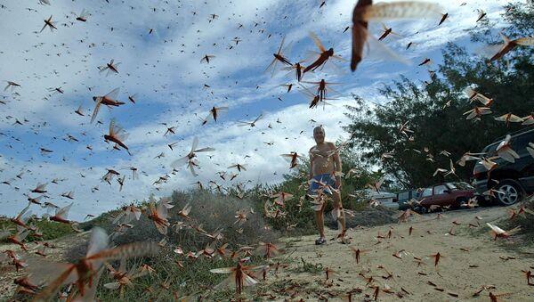Invasione di locuste alla Canarie - Sputnik Italia