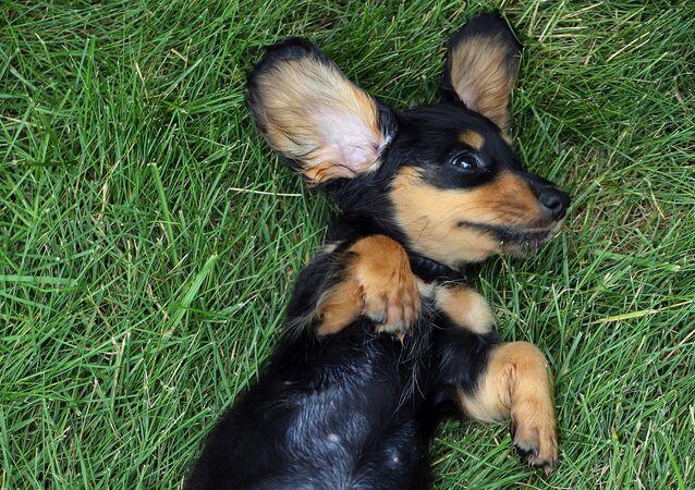 Cucciolo di bassotto tedesco a Wilmington, USA