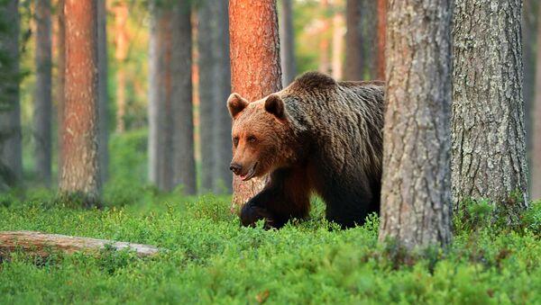 Бурый медведь в лесу - Sputnik Italia