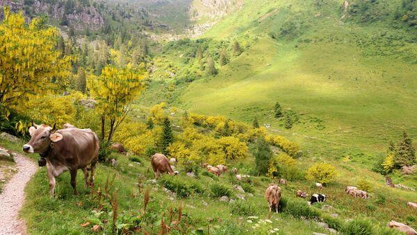Mucche in montagna - Sputnik Italia