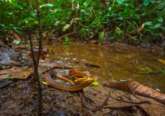 Lost and found!!! The Assam Keelback snake has been found after 129 years from Poba reserve forest on the #Assam-Arunachal Pradesh border by a team from Wildlife Institute of India