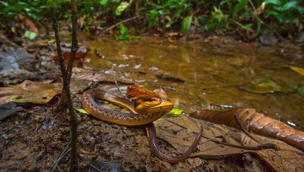Lost and found!!! The Assam Keelback snake has been found after 129 years from Poba reserve forest on the #Assam-Arunachal Pradesh border by a team from Wildlife Institute of India  - Sputnik Italia
