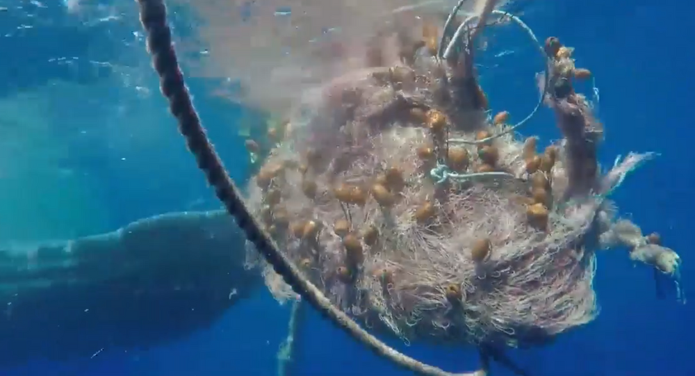 Un capodoglio rimasto intrappolato in una rete da pesca al largo di Salina, nelle Eolie, è stato soccorso e liberato.
