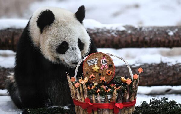 Panda Ding Ding dello zoo di Mosca - Sputnik Italia