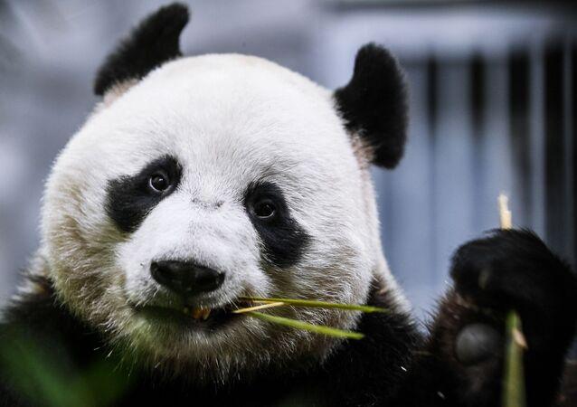 Panda Ru Yi dello zoo di Mosca