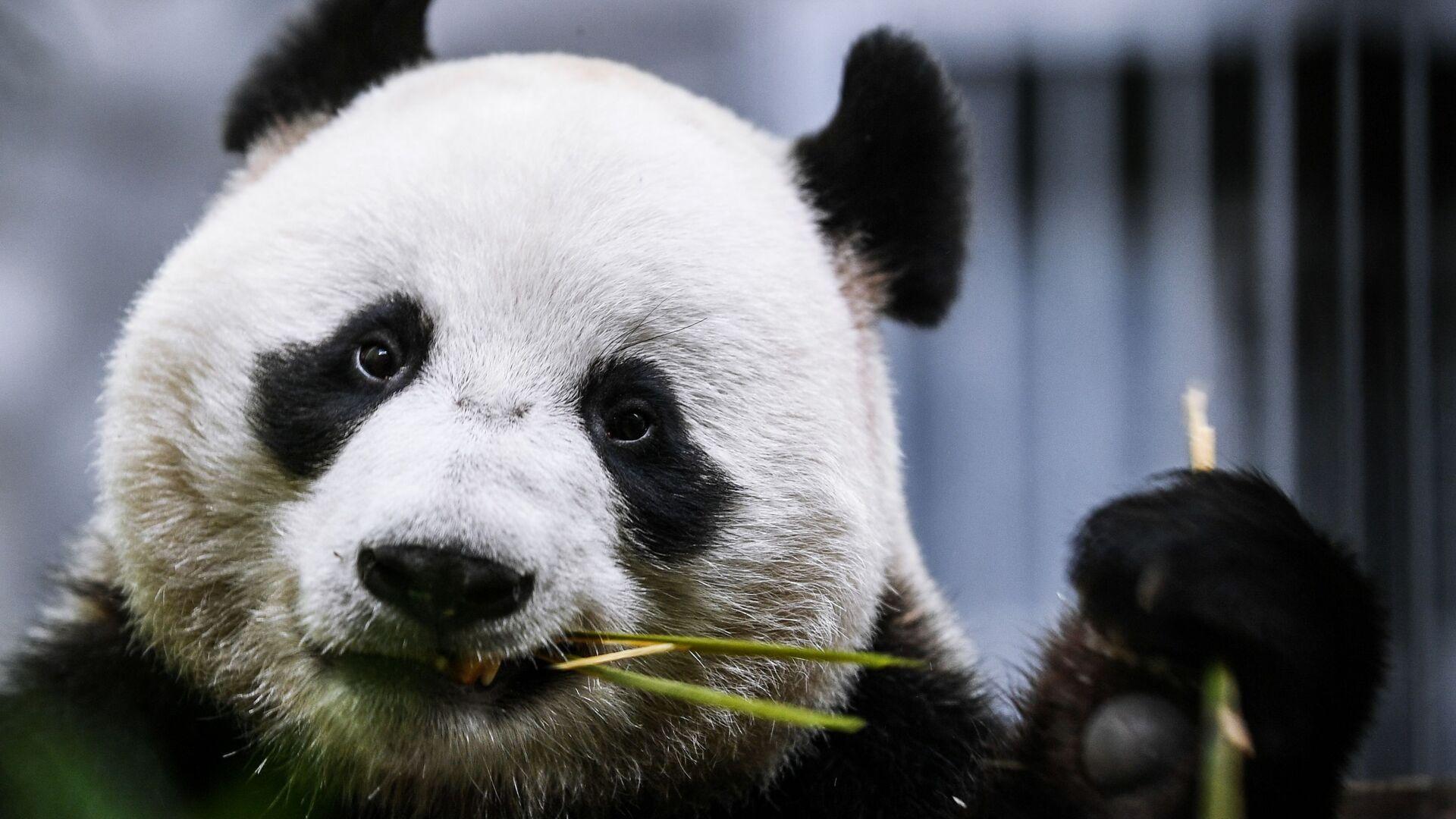 Panda Ru Yi dello zoo di Mosca - Sputnik Italia, 1920, 09.07.2021