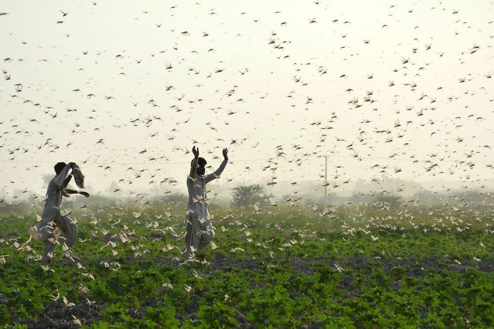 I fattori combattano le locuste in Pakistan.