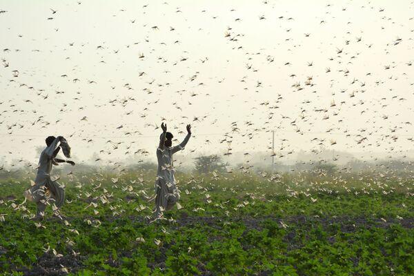 I fattori combattano le locuste in Pakistan. - Sputnik Italia