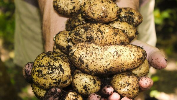 Свежий картофель с огорода на руках - Sputnik Italia
