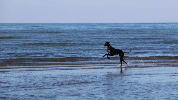 Un cane su una spiaggia in Italia - Sputnik Italia